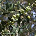 Sirmione: náladovka z olivového háje