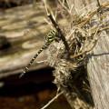 Krušné hory, zrušená trať Křimov - Marienberg: vážka na potoce