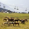 Lienzské Dolomity: Stáda koní a dobytka pod lanovkou na Steinermandl