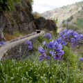 Kalokvěty a levada. 100% Madeira.