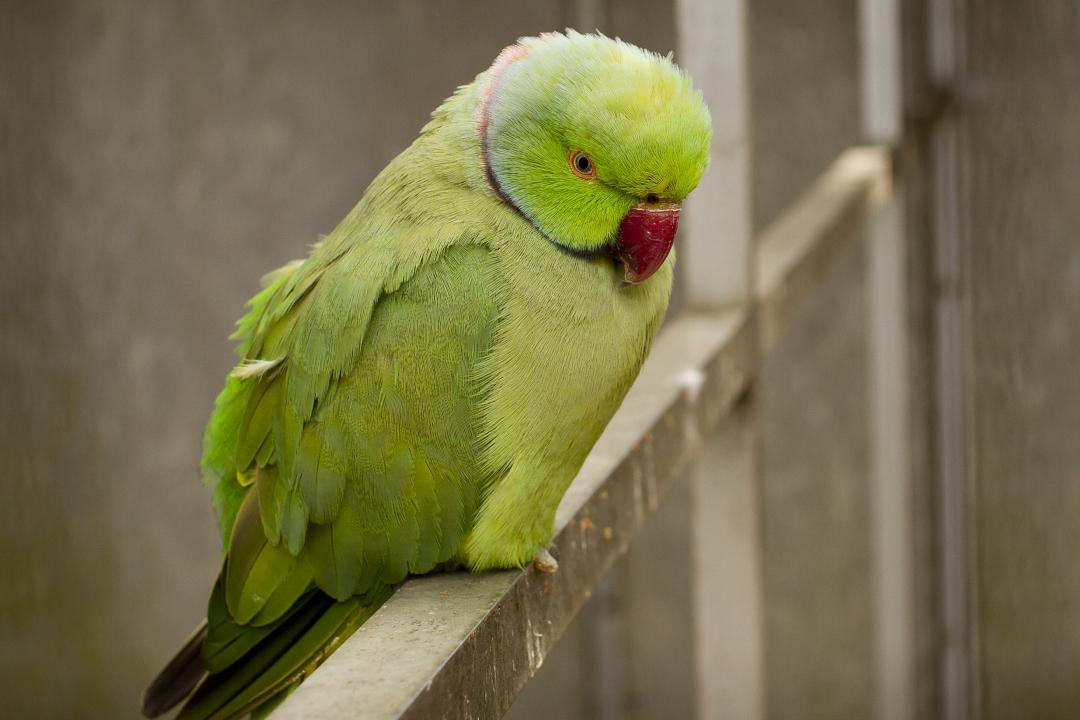 Madeira: papoušci