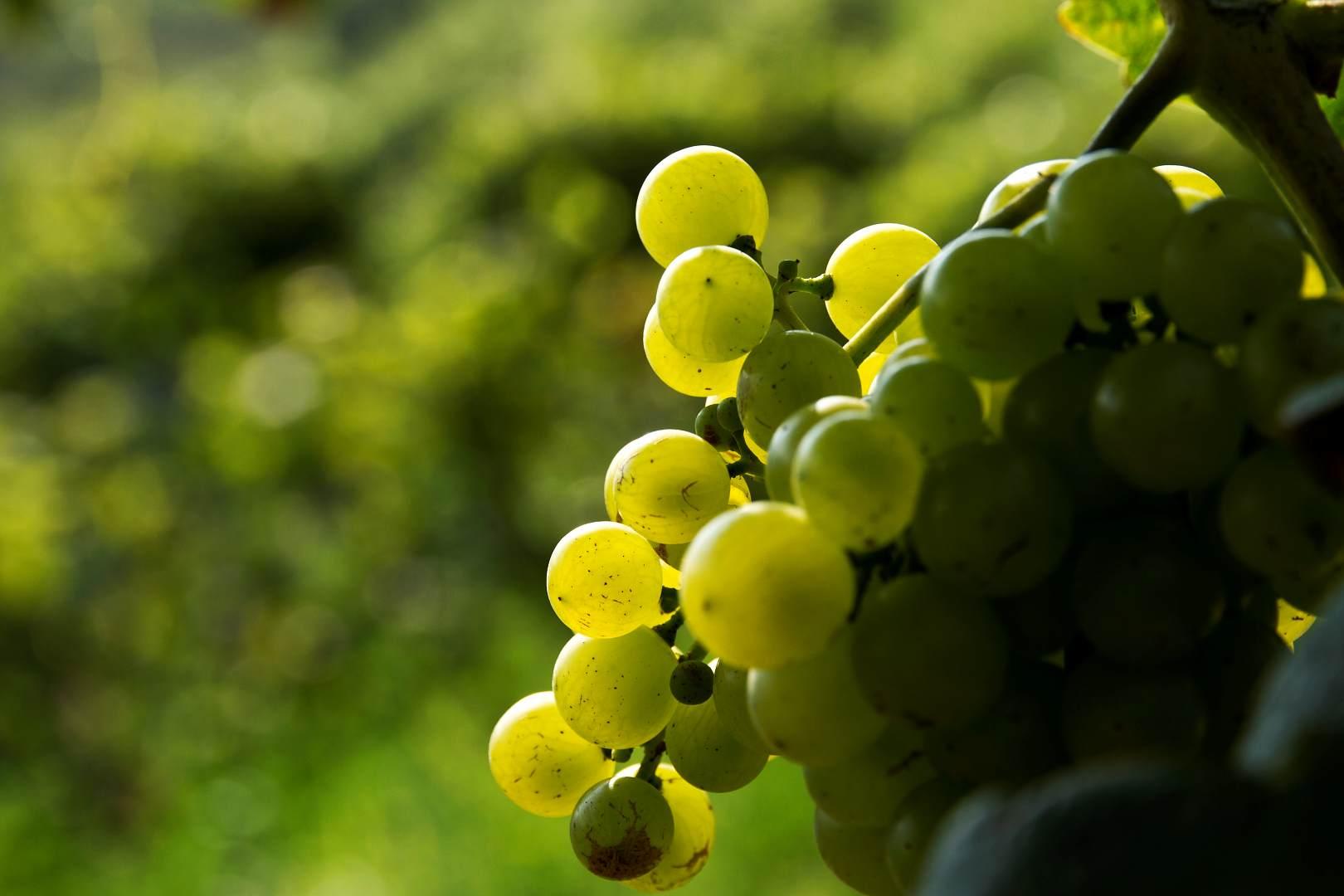 Wachau: Slunce v hroznech na vinicích Steinporz a Hartberg